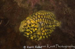 An unheard of visitor to our cold Cape waters - the pinea... by Kerri Keet