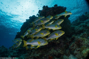 Oriental Sweetlips by Kyle Castelyn