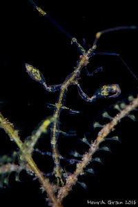 Skeleton Shrimp by Henrik Gram Rasmussen