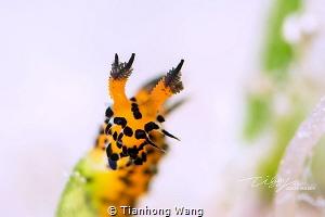 PARTICULAR Polycera abei by Tianhong Wang