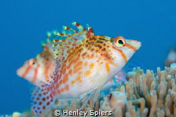 Dwarf Hawkfish Couple by Henley Spiers
