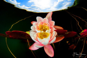 Reflection of a waterlily, Turnhout, Belgium by Filip Staes
