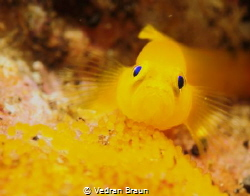 Pigmy goby guarding its eggs. by Vedran Braun