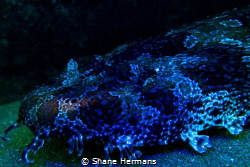 A Spotted Carpet Shark shot under a DIY Blacklight. by Shane Hermans
