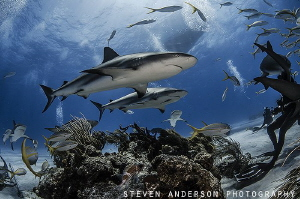 Healthy sharks promote healthy reefs making the Bahamas a... by Steven Anderson
