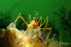 common spider crab (Macropodia rostrata)Zeeland, the Neth... by Filip Staes