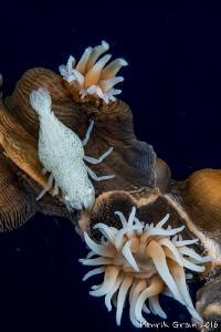 White Anemoe Shrimp by Henrik Gram Rasmussen