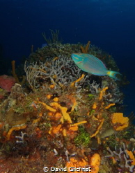 Cozumel Reef Scenic with Parrotfish. by David Gilchrist