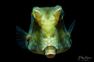 Portret of a Thornback boxfish (Lactoria fornasini), Lemb... by Filip Staes