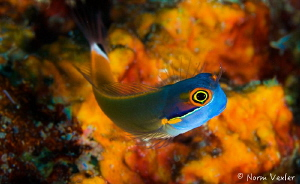 Tailspot Blenny in Raja Ampat by Norm Vexler