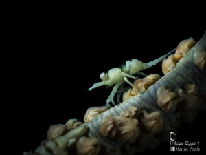 wirecoral shrimp juvenile by Philippe Eggert