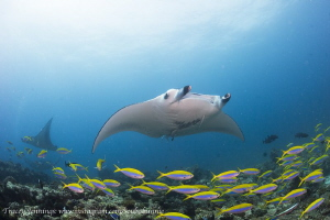 Manta with fusiliers by Tracey Jennings
