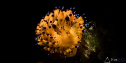 Nudibranch taken with a snoot by Lionel Lim