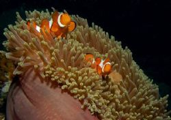 a couple of anemone fishes in their home anemone, off Sip... by Mona Dienhart