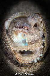 At home in a shell. A Coconut Octopus emerges from the sa... by Marc Damant