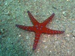 Ghardaqa sea star taken north of the shrimp farm at Nabq ... by Nikki Van Veelen