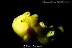 A tiny Painted Frogfish snooted !00mm macro plus 5 diopter. by Marc Damant