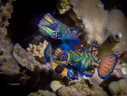 HAPPY TOGETHER - Mandarin Fish by Ton Ghela
