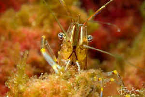Spring is in the water! common prawn (Palaemon serratus) by Filip Staes