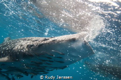 Hungry Whale shark by Rudy Janssen