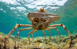 Araignée de mer by Jérome Mirande
