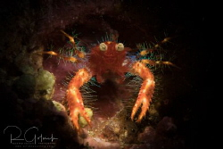 Olivar's squat lobster-Anilao. by Richard Goluch