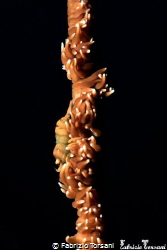 A cryptic shrimp on a whip coral by Fabrizio Torsani