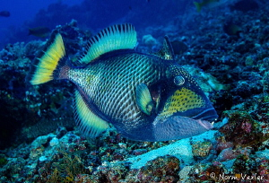 Titan Triggerfish - stay clear of this guy...right! by Norm Vexler