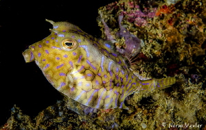 Cool looking Cowfish in Anilao, Philippines by Norm Vexler