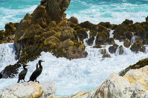 Great cormorants (Phalacrocorax carbo) in Betty's bay, So... by Filip Staes