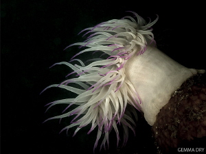 Anemone enjoying the darkness and surge on Hakskeen Reef. by Gemma Dry