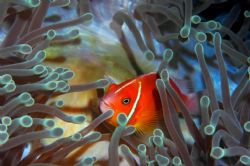 Pink Anemonefish; Nikon D70s/60mm lens by Alison Forbis