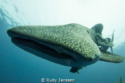 Whale shark by Rudy Janssen