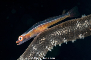 Wire coral Goby's (Bryaninops yongei) by Rudy Janssen