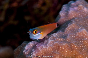 Blenny by Rudy Janssen