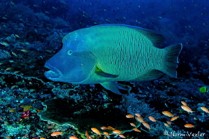 Magnificent Humpback Wrasse in the Komodo Islands, Indonesia by Norm Vexler