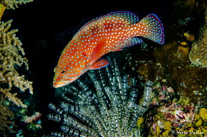 A beautiful fish on the reef in Raja Ampat - the Coral Gr... by Norm Vexler