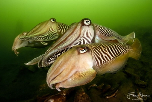 Cuttlefish, Zeeland, The Netherlands. by Filip Staes
