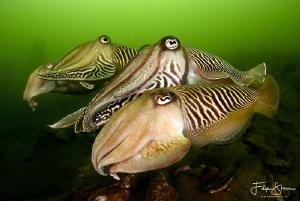 Cuttlefish, Zeeland, The Netherlands. by Filip Staes