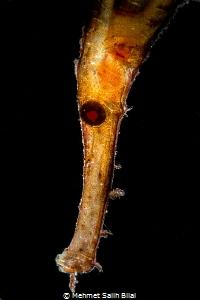 Robust ghost pipefish backlit. by Mehmet Salih Bilal