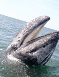 I work as a naturalist in San Ignacio Lagoon Mexico. Whal... by James Dorsey