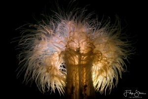 plumose anemone or frilled anemone, backlighted. Zeeland,... by Filip Staes