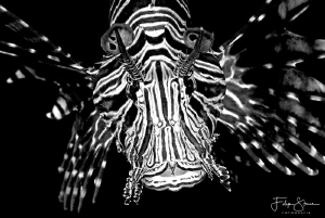 Portret of a lionfish. Dahab,Egypt. by Filip Staes