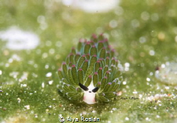 Shaun the Sheep (Costasiella Sp.3) the cutest  nudibranch... by Alya Roslan