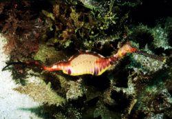 Common Sea Dragon - Weedy , Kangaroo Island / South Austr... by Ralf Levc