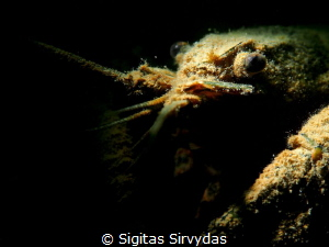 Crayfish portrait by Sigitas Sirvydas