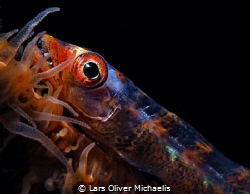 big eye goby (Bryaniops amplus) on whip coral by Lars Oliver Michaelis