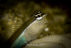 Big eyed blenny by Mark Reilly