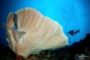 A diver explores a Mushroom coral. Bunaken, Manado, Sulaw... by Filip Staes