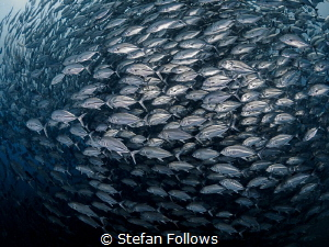 Follow me, I'm right behind you ... !  Big Eye Travely ... by Stefan Follows